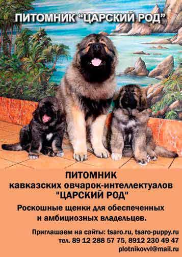 Priznanie-v-liubvi-kavkazskoi-ovcharke5